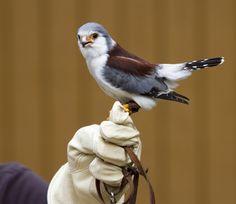wing thing, pygmi falcon, falcon photo, favorit anim, creatur, falcons, feather, bird hous, nathan rupert