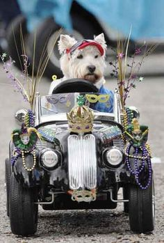 Brody, a Westie belonging to Vicki Rice, sits in a remote controlled car at the beginning of the Mardi Gras Dog Parade at Baytowne Village in Sandestin, Florida. (Devon Ravine/The Northwest Florida Daily News)