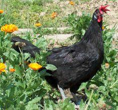 gallina castellana negra - Google Search