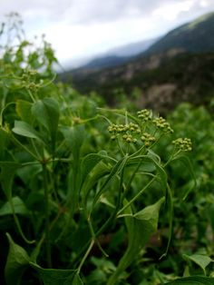 Muscle Aches and Tension: Materia Medica, Part 1 | The Medicine Woman's Roots