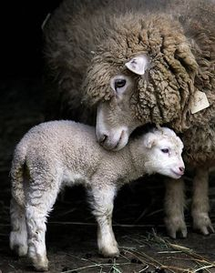 sheep mom and baby...