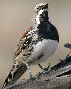 chestnut quail thrush