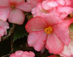 Begonias  Named after a former governor of the French colony of Haiti, this flower is thought to symbolize fear and when given to someone it should raise his awareness. However, they're better known as implying a dreamy and innocent attitude which makes them perfect gifts for kids and creative people.