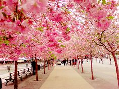 cherry blossom walk, japan