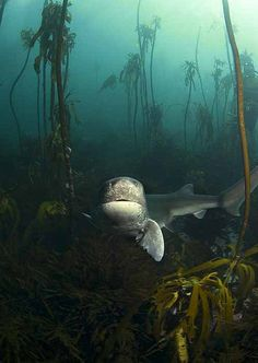 Pyramid cowsharks 08_10 (34) by Geoff Spiby
