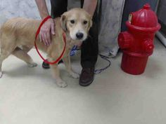 Houston-This DOG - ID#A415381 I am a male, tan and white Labrador Retriever mix. My age is unknown. I have been at the shelter since Sep 15, 2014.