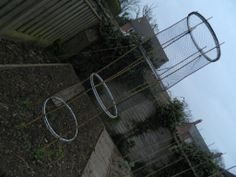A sweet pea trellis made from bicycle wheels.