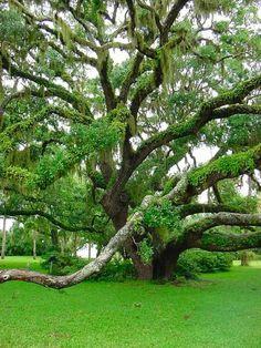 Plantation Oak, Jekyll Island, GA