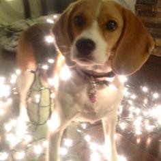 anim, peanut, beagl babi, christmas lights, beagles, christma beagl, puppi, christma light, cards