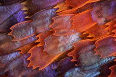 Alas de la mariposa Panacea prola, aumentadas a 200x (10°)  Charles Krebs, Issaquah, Washington, EEUU