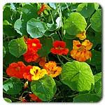 "Organic Dwarf Jewel Mix Nasturtium Brilliant red, orange, salmon, and yellow flowers are boldly displayed upon bushes of thick, green, round leaves. Makes a beautiful border plant. The peppery-tasting edible flowers are exquisite when stuffed with cream cheese or added to salads for color. Direct seed 1"" deep and thin to a final spacing of 16"". Can be started as transplants 4-5 weeks before planting date.  200 seeds/oz (Trapaeolum majus)  Days to maturity: 60 days"