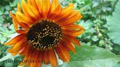 Orange sunflower - see what to avoid planting them near