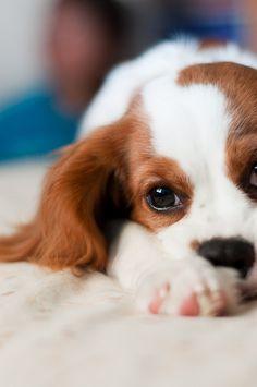 Cavalier King Charles Spaniel- the next dog I want!
