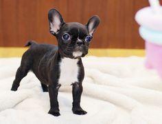 Teacup Bulldog