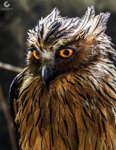 Photo: Eagle Owl by saeed bafadel on 500px