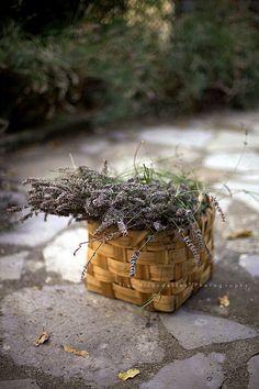 Dry lavender harvest