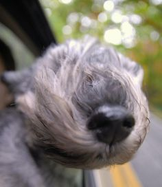 Nose in the wind, silly dog :)