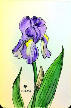 Iris from Life, pen and watercolor - WetCanvas