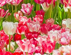 Tulip Bed by Mike Oberg, via 500px