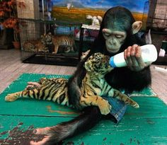 Chimpanzee tiger love