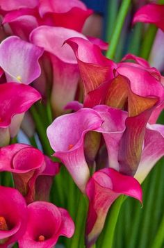 bouquet, calla lilies, colors, plants, pink, beauty, flowers, garden, calla lillies