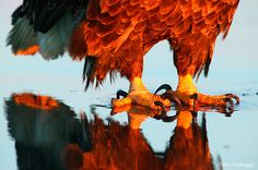 Eagle Talon Photos, Bald Eagle
