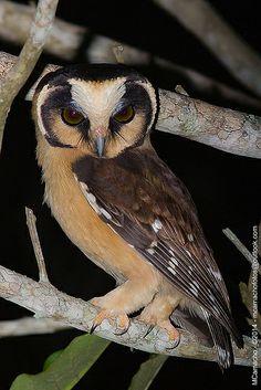 cabure-acanelado - Nome Científico: Aegolius harrisii (Cassin, 1849) -  Nome em Inglês: Buff-fronted Owl