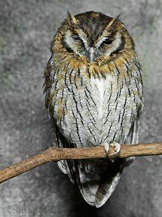 Tropical Screech-Owl Pinned by www.myowlbarn.com