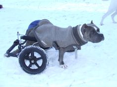 Beau sporting his sweater over his cart.