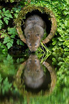Wild Water Vole in a Hole
