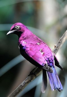 Male Violet Backed Starling