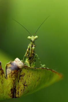 Lichen Mantis by Daniel Trim on Flickr