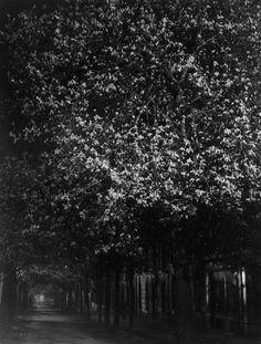 Brassaï: Chestnut, 1931-1932.