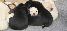 puppy litter in the nest from Guide Dogs for the Blind UK