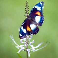 ~~ Wings - common eggfly butterfly ~~