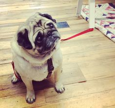 pug life. http://blog.freepeople.com/2013/02/friday-fun-dogs-talk/