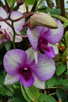 Dendrobium ~ orchid
