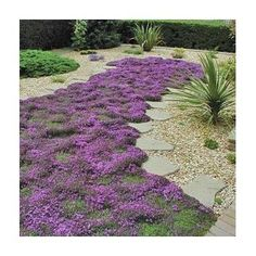 Creeping Mother of Thyme – The Ultimate Low-maintenance Groundcover for the Gardener That Wants a Fast Growing, Hardy Perennial with a Beautiful Color and a Wonderful Lemony Fragrance! By Zziggysgal | Garden Preservation