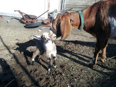 Crossing a female Nubian with a male Pygmy makes f1 generation kinder goats they are the ultimate homesteading goat they have THE richest goat milk and have a great meat ratio compared to average milk goats.