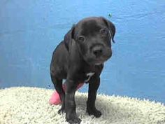 TODAY MAYBE HIS LAST DAY.  Precious baby pittie. He is less than 2 months old and has a fractured leg. Lancaster shelter, CA.  Impound No: A4592802 Impound Date: 6/14/2013 Sex: Male Primary Breed: PIT BULL Age: 0 Years, 1.5 Months Location: Lancaster Cage No.: L437