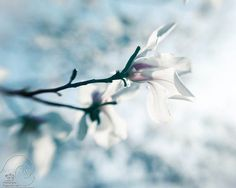 White Magnolia blossoms spring photo blue home decor by ImagesByCW, $30.00