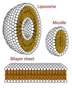 File:Phospholipids aqueous solution structures.svg - Wikipedia, the free encyclopedia