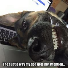 "Funny German Shepherd. <a href=""http://www.animalhub.com/category/allthingsdog/"" rel=""nofollow"" target=""_blank"">www.animalhub.com...</a>"