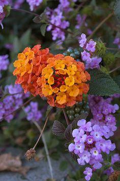 """Fall Flowers"" Lantana...love these"