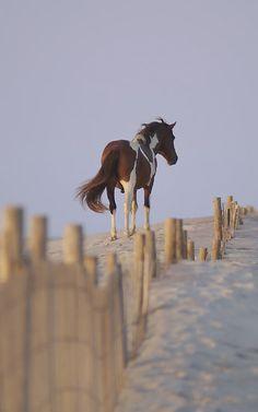Wild pony on the sand dunes of Assateague Island, Maryland