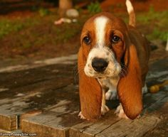 i WILL have basset hound some day.