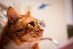眼鏡をかけた三毛猫 four-eyed Japanese calico cat
