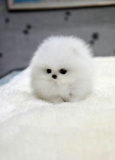 Wow!! That pup looks like a cotton ball!!