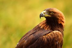 Photo Golden Eagle by Sarah Michel on 500px