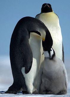 Emperor penguins - Riiser Larsen Ice shelf.